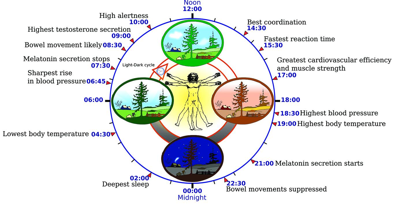科學家們一直認為人的不同器官內都有生物鐘,並且這些小生物鐘的協調同步是由大腦中的「主生物鐘」控制著的。(維基百科)