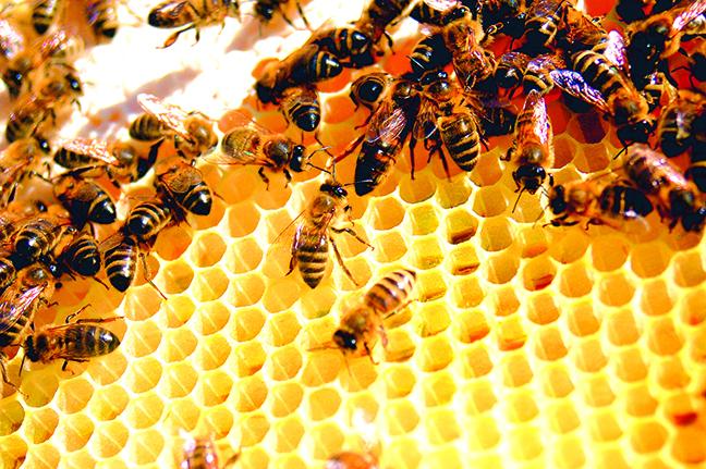 全球75%的蜂蜜都發現殘留在蜜蜂身上的殺蟲劑。(維基百科)