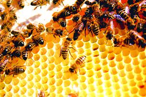 全球75%蜂蜜受殺蟲劑污染