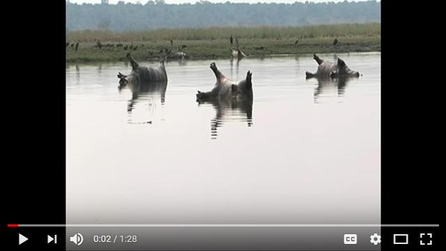 非洲上百頭河馬一周內離奇暴斃 死狀詭異