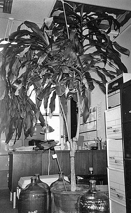 牛舌蘭於2002年的樣貌,高過天花板了。