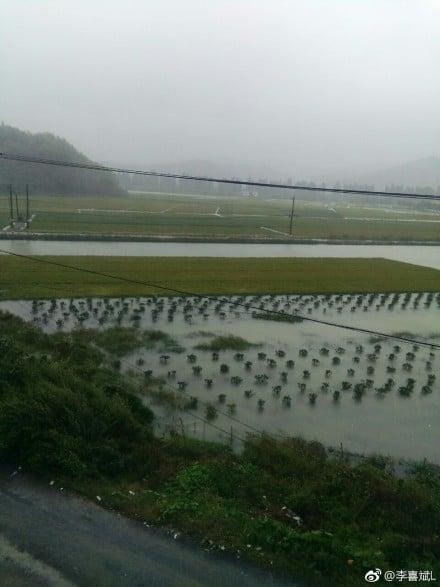 稻田被淹,受災嚴重。(網絡圖片)