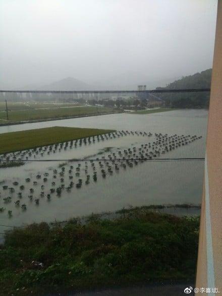 稻田被淹,恐造成減產。(網絡圖片)