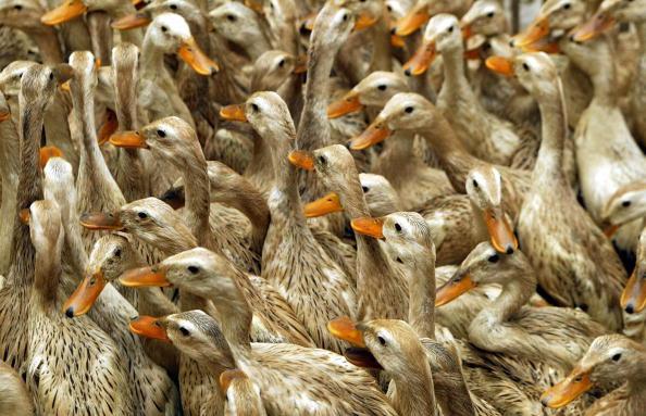 近日,安徽省馬鞍山市和縣爆發高致病性H5N6亞型禽流感。圖為養鴨場示意圖。(Getty Images)