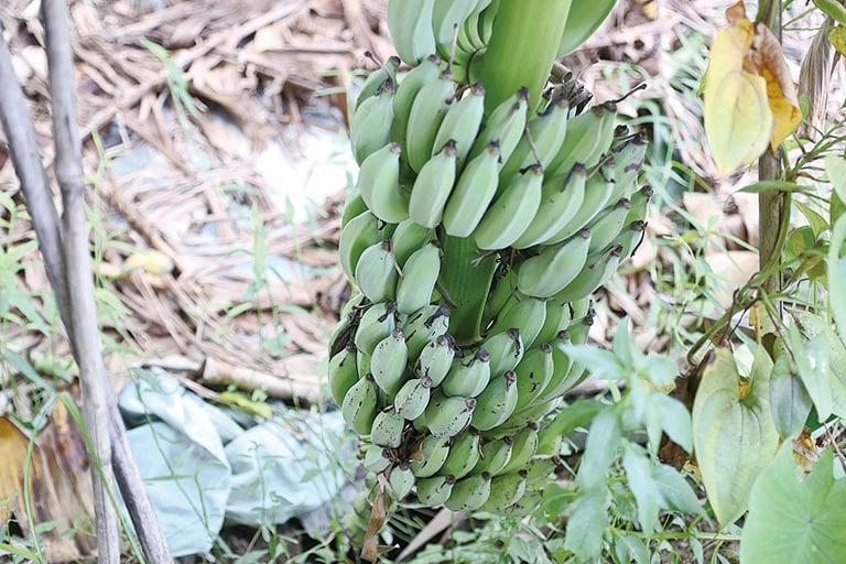 颱風折斷了香蕉樹,上面結著一梳梳將要長成的香蕉,幸好香蕉樹生命力強,又長出香蕉。(余鋼/大紀元)