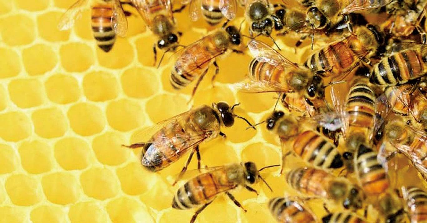 聯合國發表報告指出,新菸鹼類殺蟲劑是蜂群近年銳減的原因;歐盟已於2013年禁止對油菜等農作物使用部分新菸鹼類殺蟲劑。(網絡圖片)