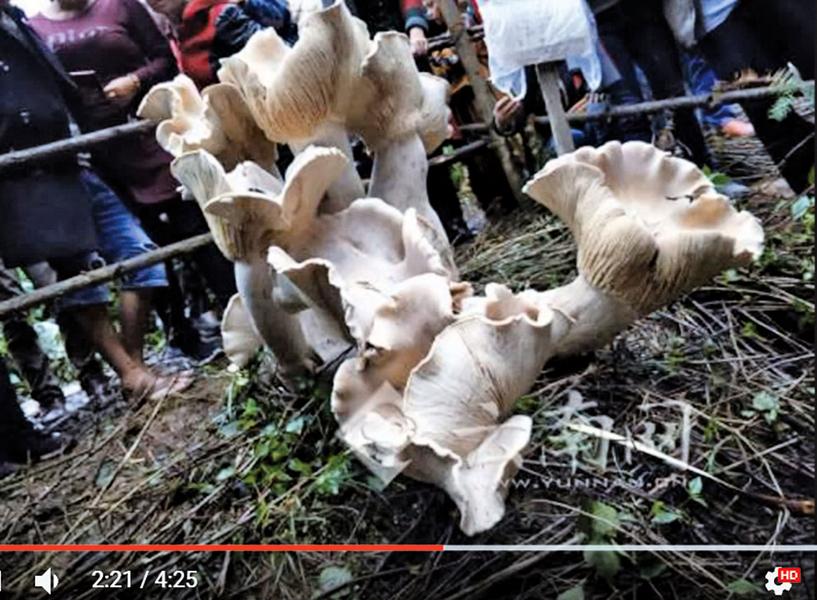 【圖片新聞】雲南野生蘑菇王 巨大如象腳