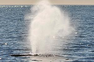 無人機新妙用 收集座頭鯨「噴嚏」