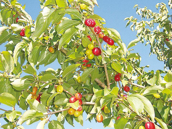 茱萸被認為能祛病驅邪,重陽節時可頭插茱萸枝,或腰佩茱萸囊香袋登高去。(維基百科)