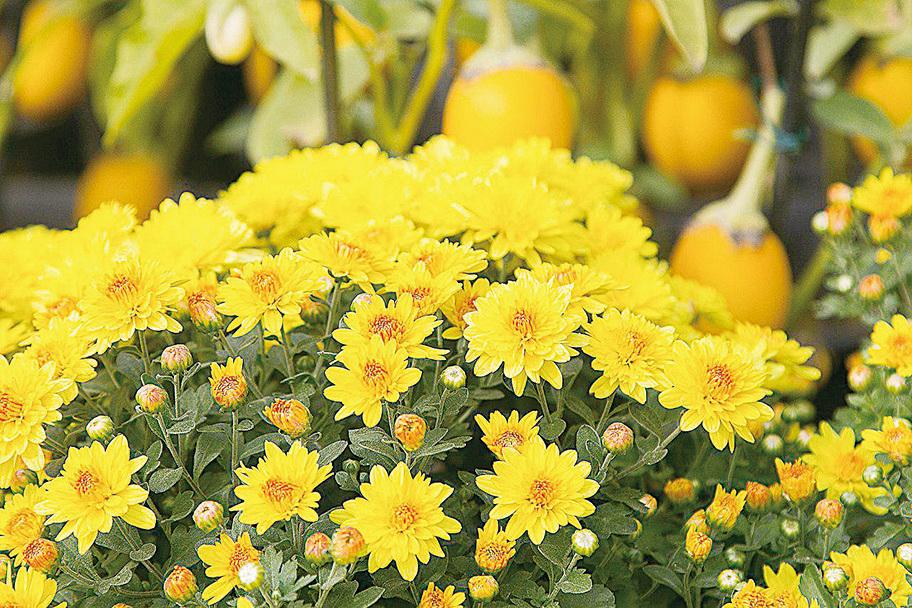 菊花除了有觀賞價值,本身具有清肝明目、清熱解毒及一定的降壓功效。(大紀元資料圖片)