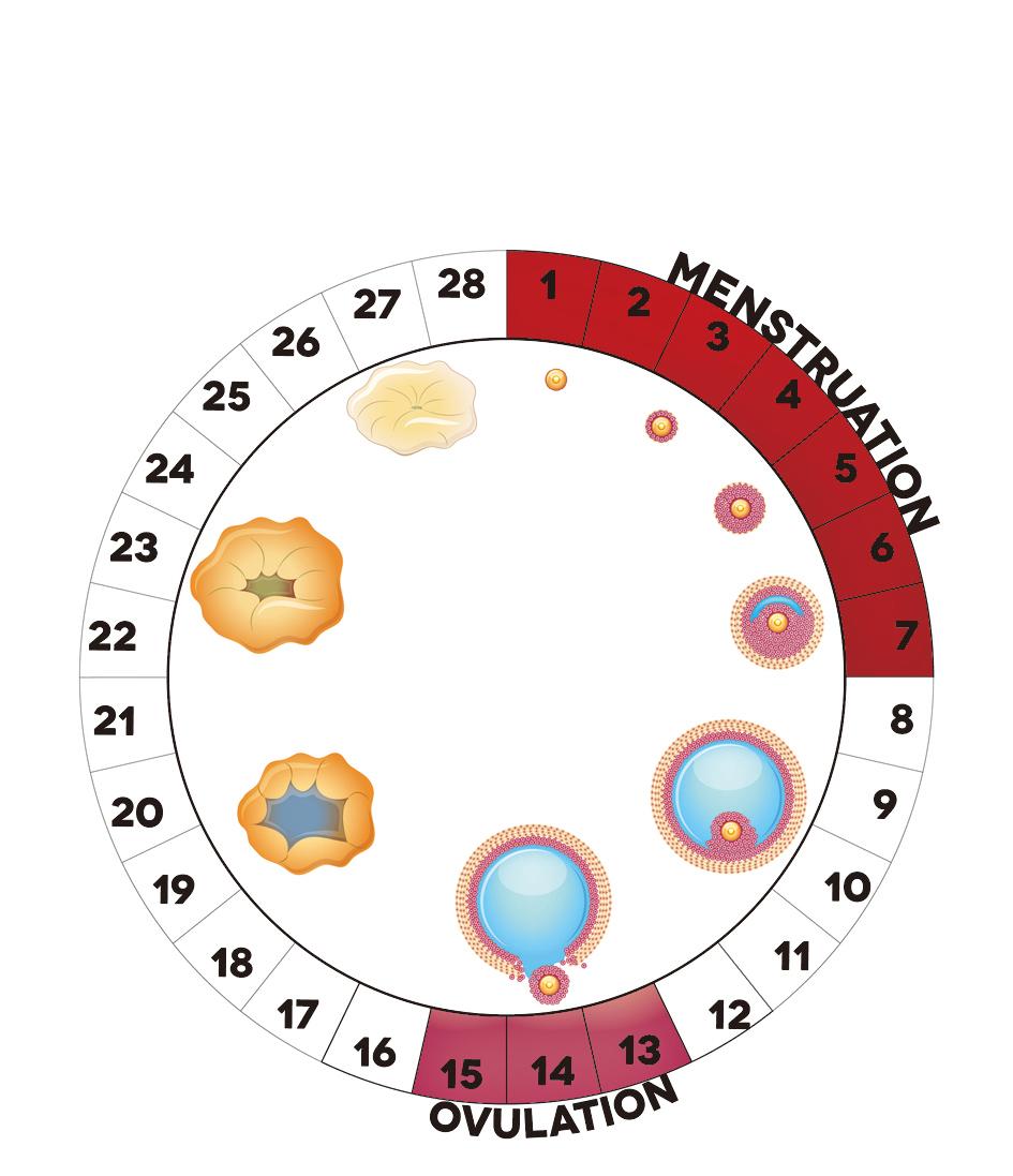 月經周期卵泡發育