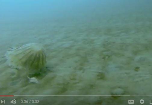 不久前,科學家拍攝到十分罕見的北極冰層下的巨大水母。(視像擷圖)