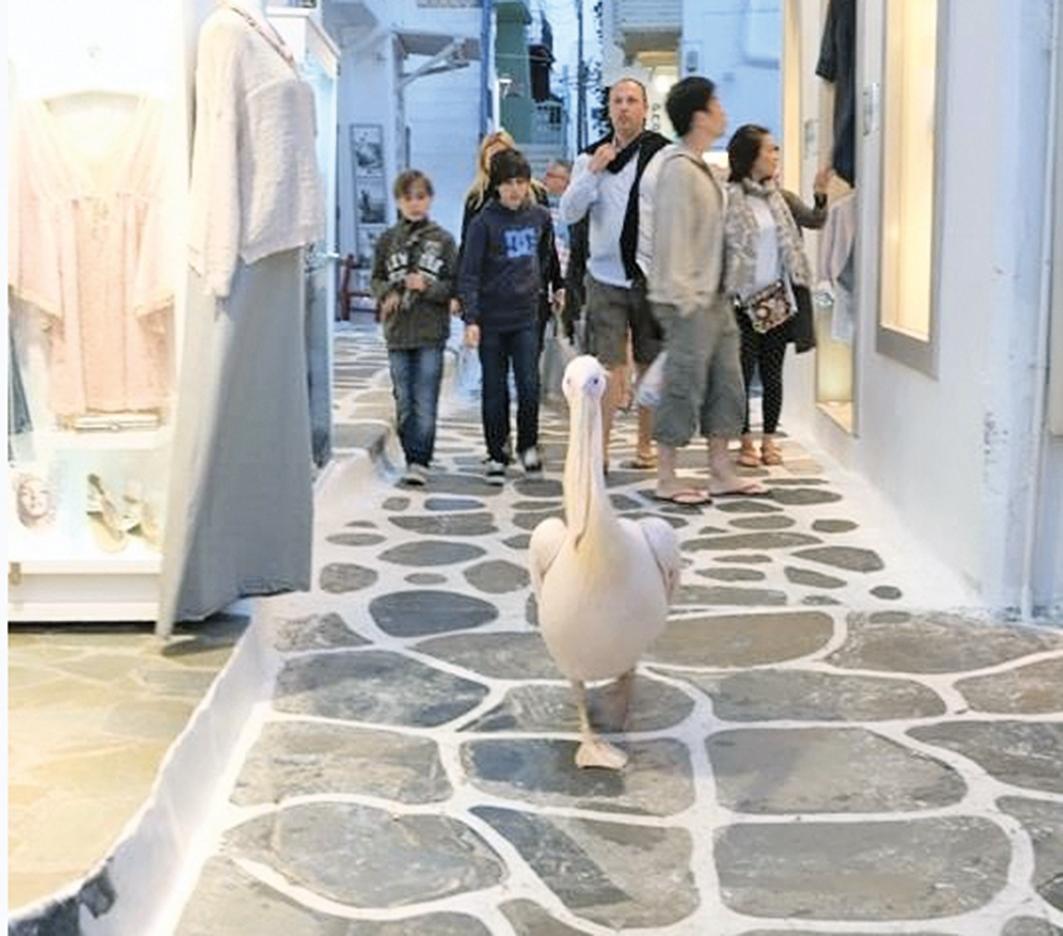 大嘴鳥,名為鵜鶘。(攝影:筱林子)