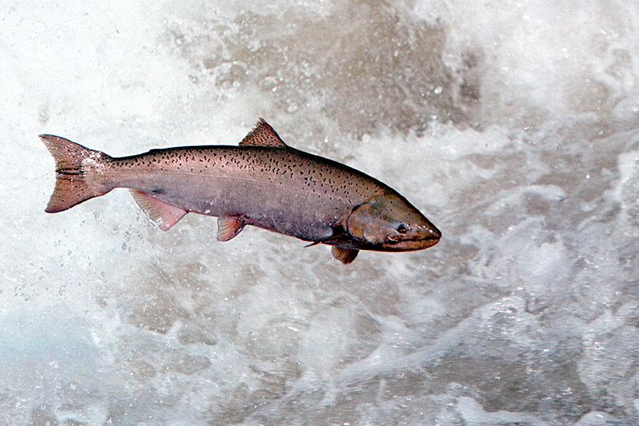 圖為一條野生帝王鮭。(Bill Schaefer/Getty Images)