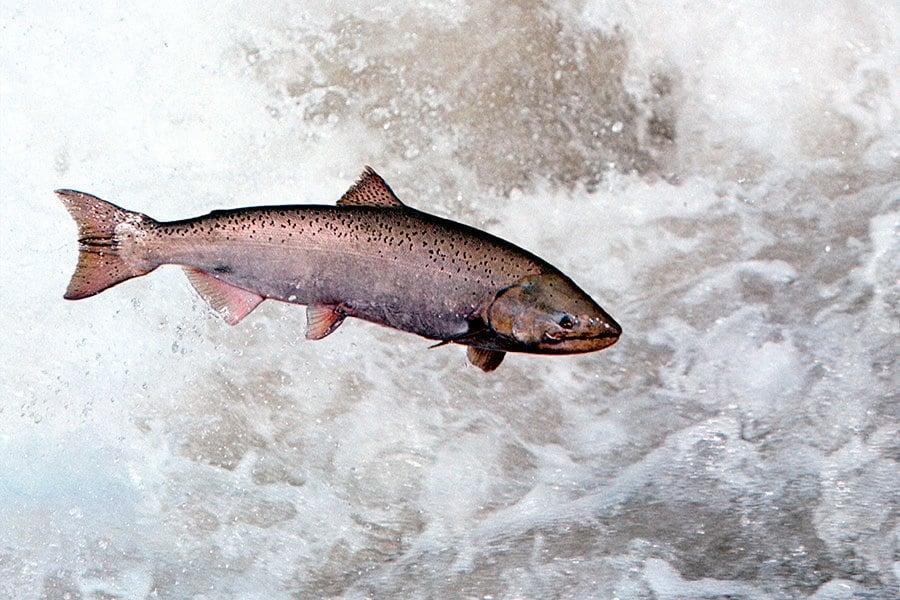 野生大西洋三文魚首次未回加拿大產卵