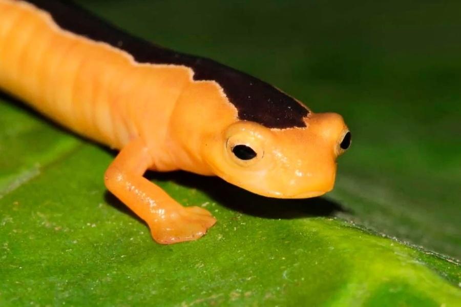 神秘火蜥蜴隱身40年 再現拉丁美洲群島