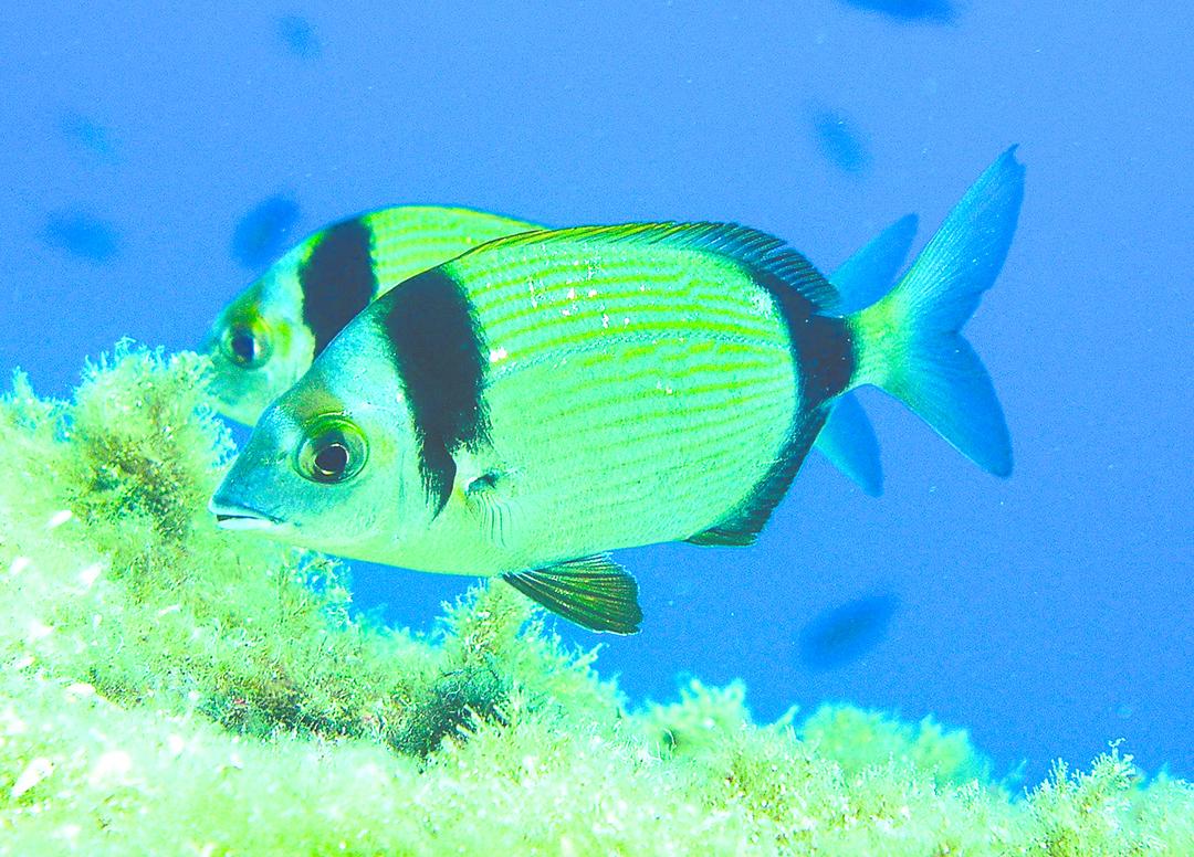魚不是進化論所說的低智商動物。實驗結果說明,鯛魚個體對環境的反應體現出一種感情狀態。圖為鯛魚(Sea Bream)。(維基百科)