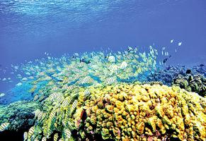 兩年熱浪侵襲 夏威夷近半珊瑚礁白化