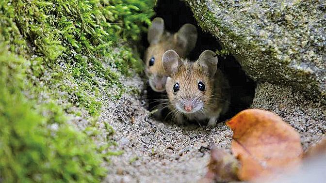 野生小鼠腸道細菌有助無菌小鼠預防流感和癌症