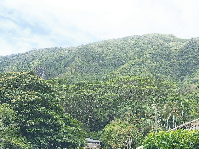 中間樹冠如傘的即為南洋楹。