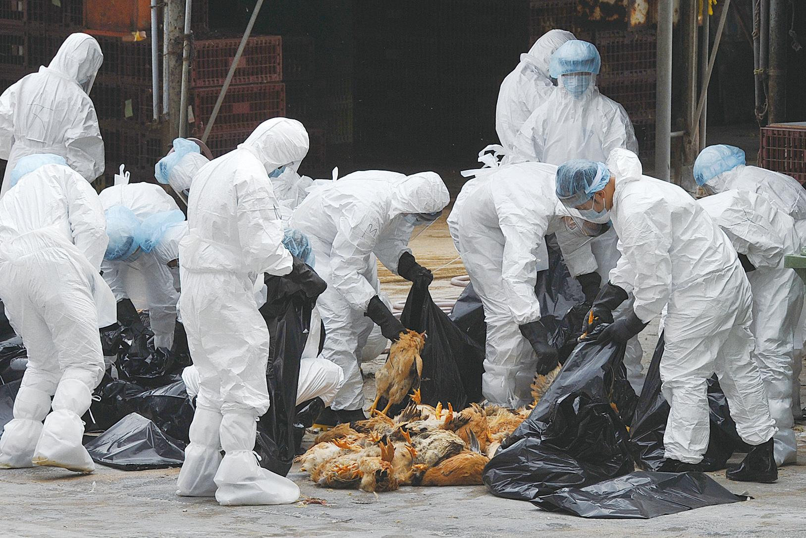 香港長沙灣家禽批發市場發現一隻死雞感染了H5N1高致病性禽流感病毒,當局21日開始撲殺市場內的17,000隻家禽。(Getty Images)
