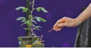 最新研究檢測到兩種植物內的電脈衝,就像大腦中的神經元在發送訊號一樣。美國神經學家Greg Gage說,植物沒有大腦,但它們可以透過電子來溝通。 (網絡圖片)