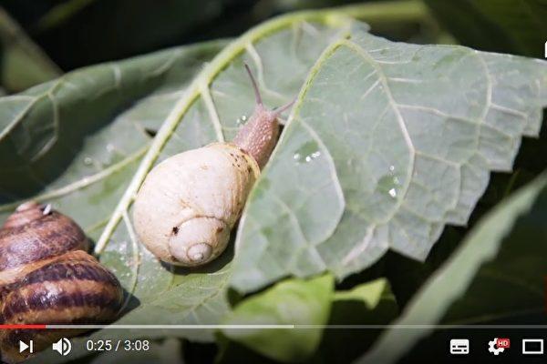 意大利男子桑波(Simone Sampò)研發機器,可採集蝸牛黏液而不殺死牠們。(視頻擷圖)