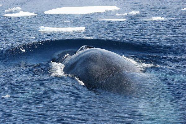 科學家在研究藍鯨(Balaenoptera musculus)時發現,這種身長超過33米、體重達200噸以上的體型最大的動物也有類似人左右利手的生理現象。(Flickr)