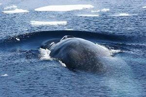 藍鯨竟是「左撇子」 原因尚待探討