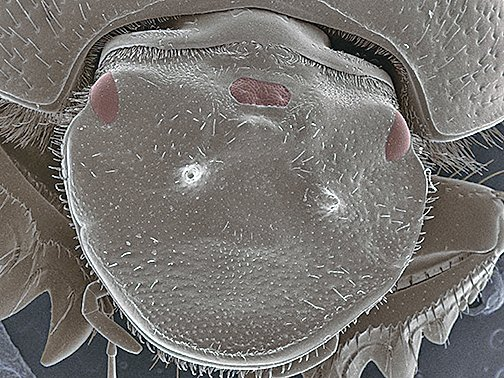 甲蟲頭上成功「種」出第三隻眼