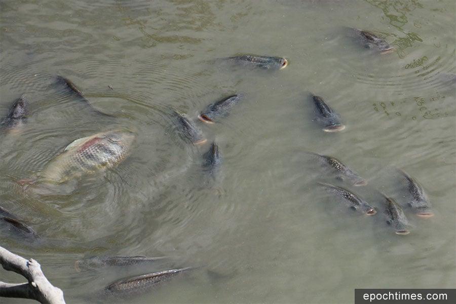 南生圍「婚紗橋」蘆葦田漁塘水位大幅下降,漁塘內的數千條鰂魚在淺水中不斷探頭出水面呼吸,瀕臨死亡。(陳仲明/大紀元)