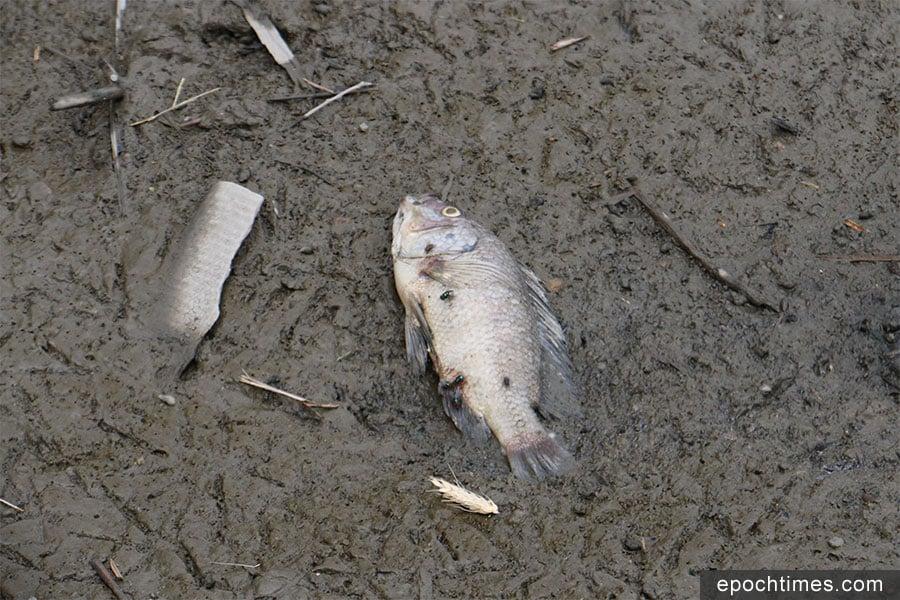 塘邊的死魚。(陳仲明/大紀元)