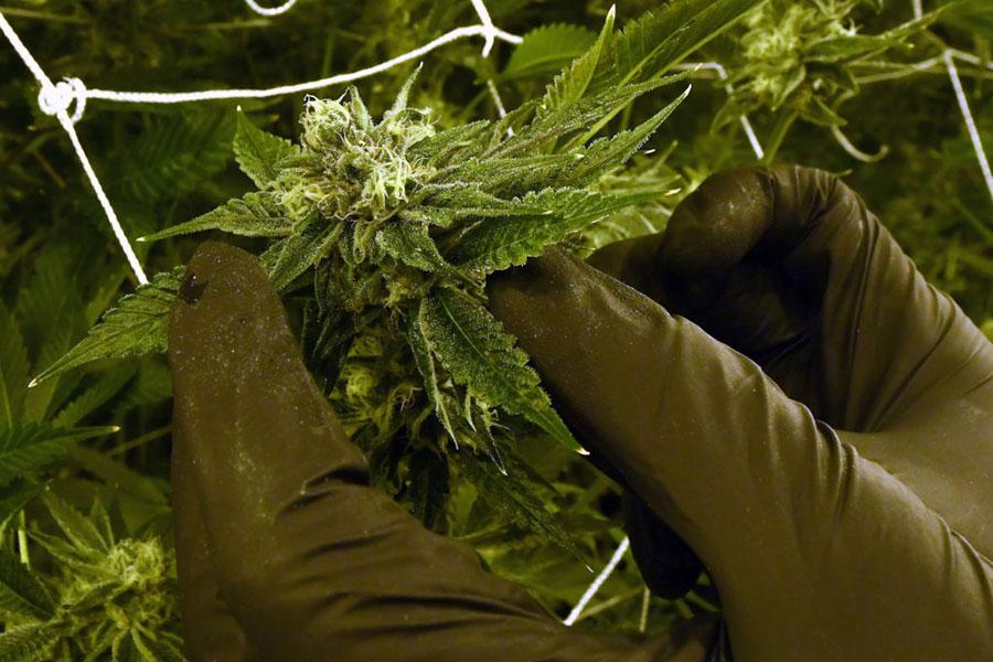 11月28日早上8時半,警方對西華盛頓的三個縣展開逾50次搜查。圖為大麻。(Ethan Miller/Getty Images)