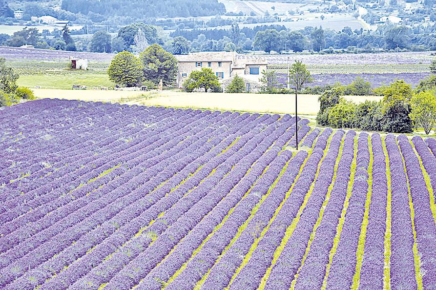 普羅旺斯大片的薰衣草花田。