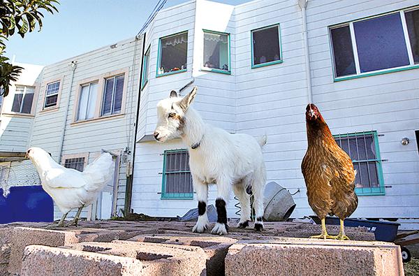 相對於餵養摻雜激素的混合飼料的肉雞,土雞肉質好吃許多。圖為美國加州三藩市一家人利用後院養殖動物,既省錢,又安全。(Getty Images)