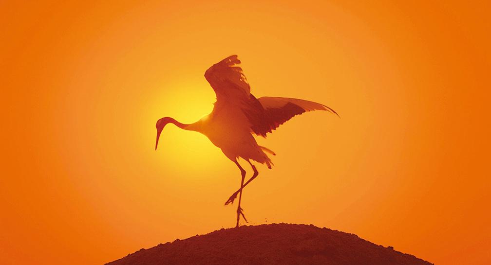 丹頂鶴舉首投足像芭蕾舞者。