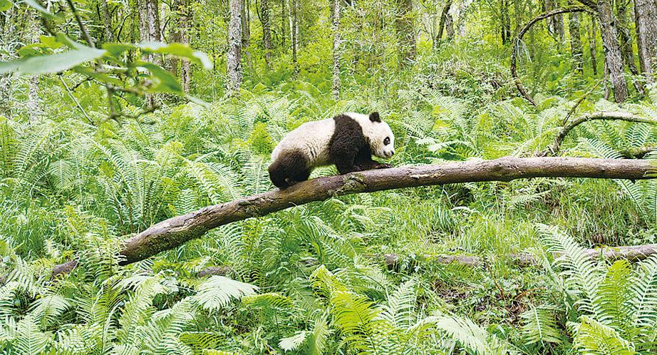攀爬樹幹的大熊貓。