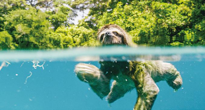 樹懶在清澈的湖中游水。