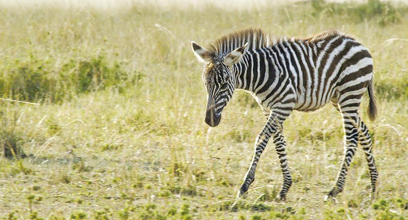 剛出生的小斑馬隨母親及族群開始遷徙,牠要穿過一條湍急的河流,河中有牠未曾見過的危險生物。