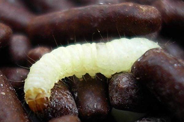 毛毛蟲體內能夠生成一種消化菌混合物,這些消化菌可對塑料進行分解處理。(維基百科)