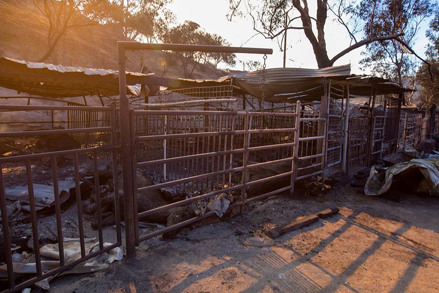 12月6日,在Sylmar附近的溪火火災中有29匹馬和其它動物死亡。(David McNew/Getty Images)