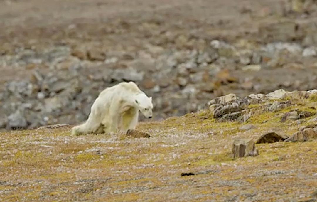 加拿大攝影師尼克倫(Paul Nicklen)拍到一隻瘦弱的北極熊垂死掙扎的一幕。(影片截圖)