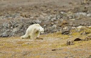骨瘦如柴的北極熊 攝影師心都碎