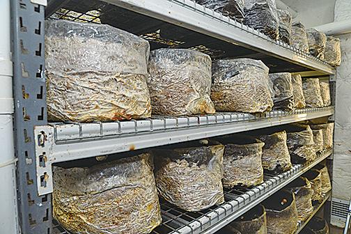 首個成功在本地工廈培植姬松茸的香港公司,所種植的姬松茸,每公斤可賣14,000元起。
