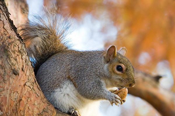 冬眠的松鼠為中風治療提供靈感
