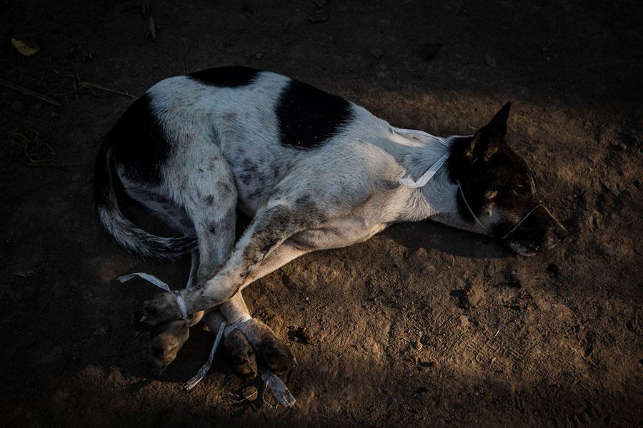 有消息稱中國逾20個省及地區可能會出現「有毒狗肉」。(Ulet Ifansasti/Getty Images)