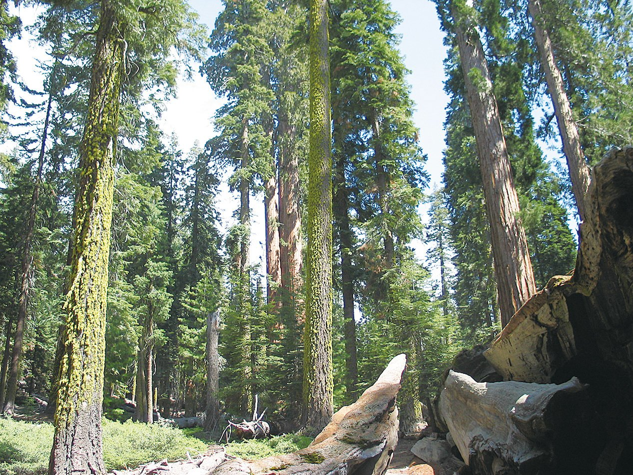 紅杉國家公園。(維基百科)
