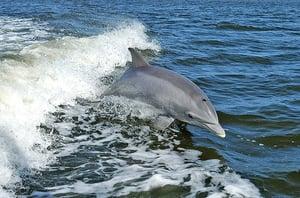 海豚也有阿茲海默症 科學家揭失智一大原因