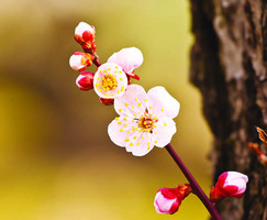 【經典名作中的秘密】春在枝頭已十分——梅花