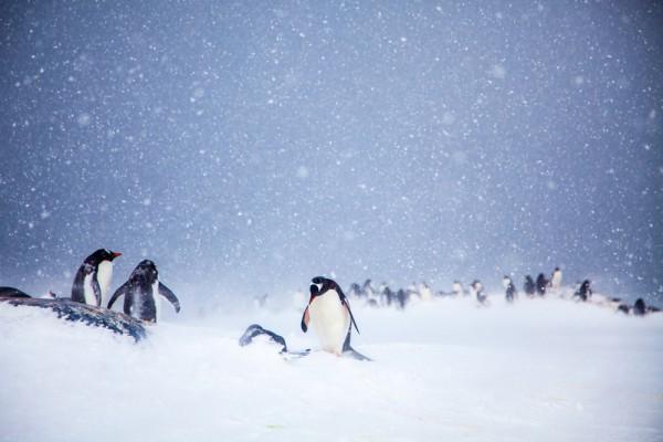 南極洲巴布亞企鵝(Anne Dirkse/維基百科)